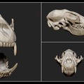 raccoon skull study by hassamjafri
