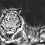 tiger by mohq